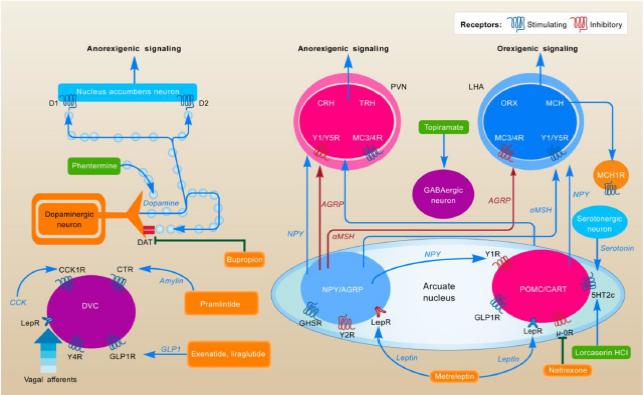 Mechanizmus účinku antiobezitik. Zdroj: Kim GW, Lin JE, Blomain ES et al. Antiobesity pharmacotherapy: new drugs and emerging targets. Clin Pharmacol Ther 2014; 95(1): 53–66. doi: 10.1038/clpt.2013.204.<br> Fig. 2. Mechanism of action of anti-obesity. Source: Kim GW, Lin JE, Blomain ES et al. Antiobesity pharmacotherapy: new drugs and emerging targets. Clin Pharmacol Ther 2014; 95(1): 53–66. doi: 10.1038/clpt.2013.204.