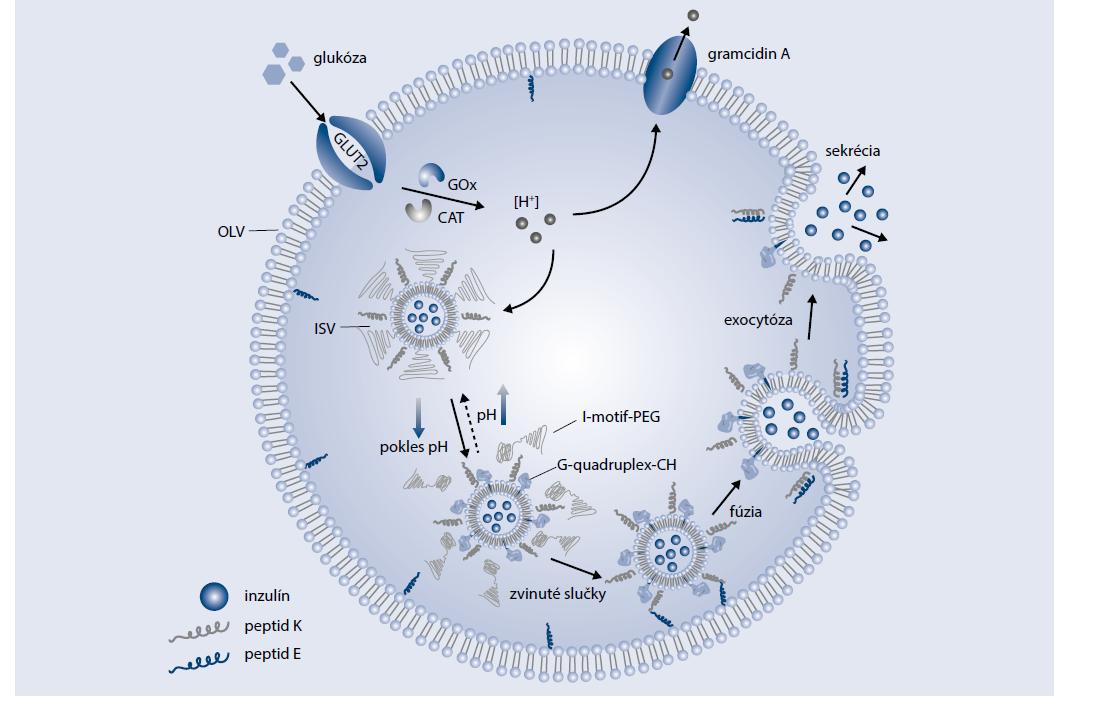 Schéma 4   Dizajn membránovou fúziou mediovaného uvoľňovania inzulínu na podnet glukózy.<br> Upravené podľa [5]