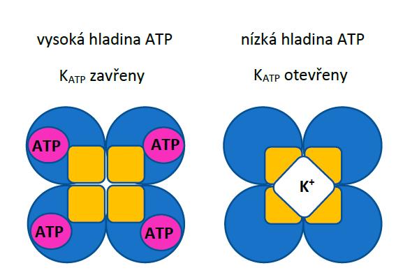 Schematické znázornění K<sub>ATP</sub> kanálů při vysoké a nízké hladině ATP v cytoplazmě. Žlutě jsou znázorněny podjednotky Kir6.x, modře podjednotky SUR.