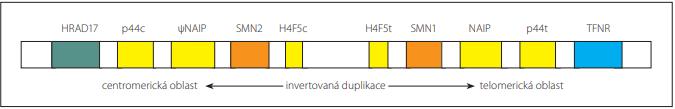 Oblast invertované duplikace s geny SMN1 a SMN2 na 5q chromozomu [29].<br> Fig. 1. Inverted duplication region with SMN1 and SMN2 genes on 5q chromosome [29].