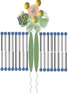 Schéma předpokládané vazby modifikovaného apoferritinového nanokonstruktu APO/AgNPsGS-DOX/AuNPs na transferinové receptory TfR pro specifické zacílení na nádorové buňky karcinomu prostaty, u kterých je potvrzena zvýšená exprese TfR.<br> APO – apoferritin, AgNPsGS – stříbrné nanočástice připravené zelenou syntézou, DOX – doxorubicin, AuNPs – zlaté nanočástice, TfR – transferinové receptory