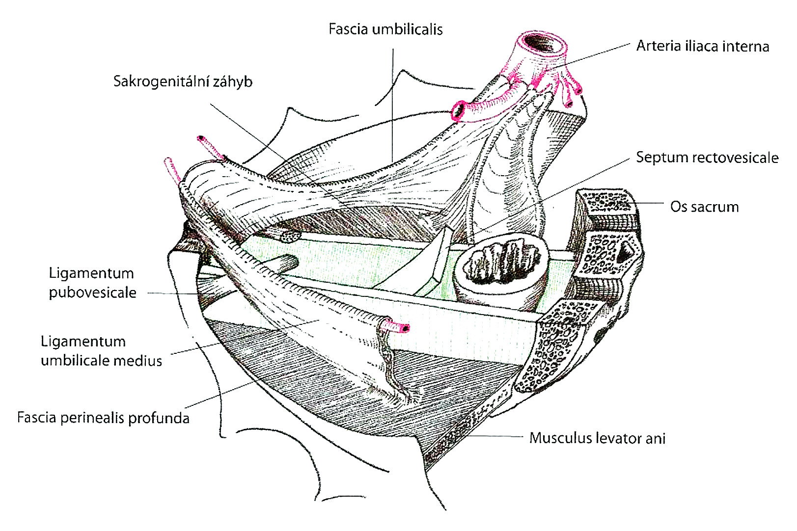 Ligamentum pubovesicale (Paoletti S., 2006).