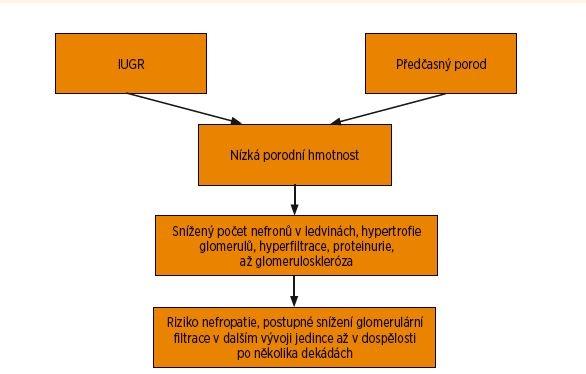 Schéma 2. Brennerova hypotéza sníženého počtu nefronů u předčasně narozených jedinců.