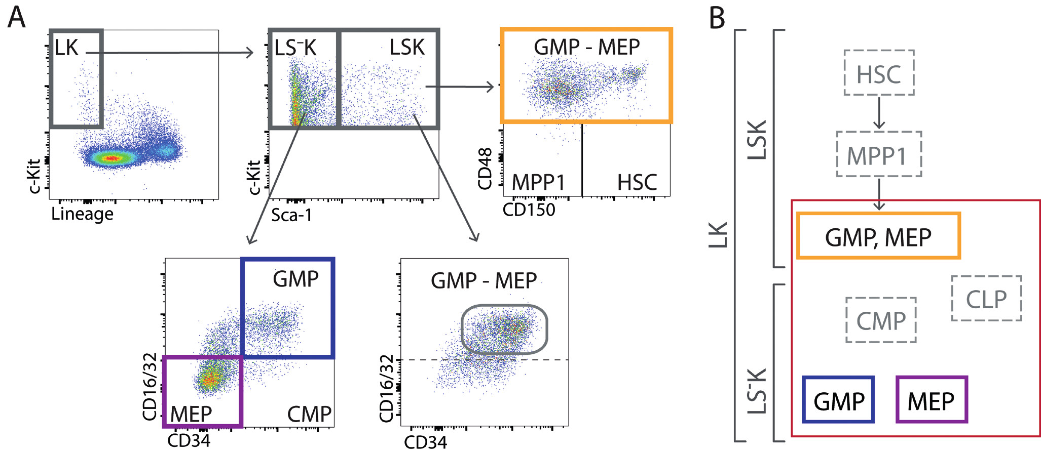 (A) V regenerující kostní dřeni lze také nezralé buňky LK rozdělit pomocí znaku Sca-1 na LSK a LS– K . V LSK buňkách je velmi málo buněk s imunofenotypem buněk kmenových, multipotentních progenitorů MPP1 a společných myeloidních progenitorů CMP. Analýza buněk LSK ukázala, že buňky s fenotypem multipotentních progenitorů (MPP2 a MPP3) jsou ve skutečnosti pozměněnými (expresí znaku Sca-1) pozdními myeloidními progenitory GMP a MEP. V intenzivně regenerující kostní dřeni je tedy naprostá většina nezralých buněk (LK) granulocytovými a makrofágovými progenitory a megakaryocytovými-erytroidními progenitory. Praktickému chybění buněk s imunofenotypem buněk kmenových, multipotentních progenitorů a společných myeloidních progenitorů v intenzivně regenerující kostní dřeni odpovídá její velmi nízká schopnost transplantace, která je na úrovni 1–2 % [29]. (B) Složení nezralých buněk LSK a LS– K je v regenerující kostní dřeni významně pozměněno a naprostá většina těchto buněk jsou erytroidní a granulocytové/makrofágové progenitory