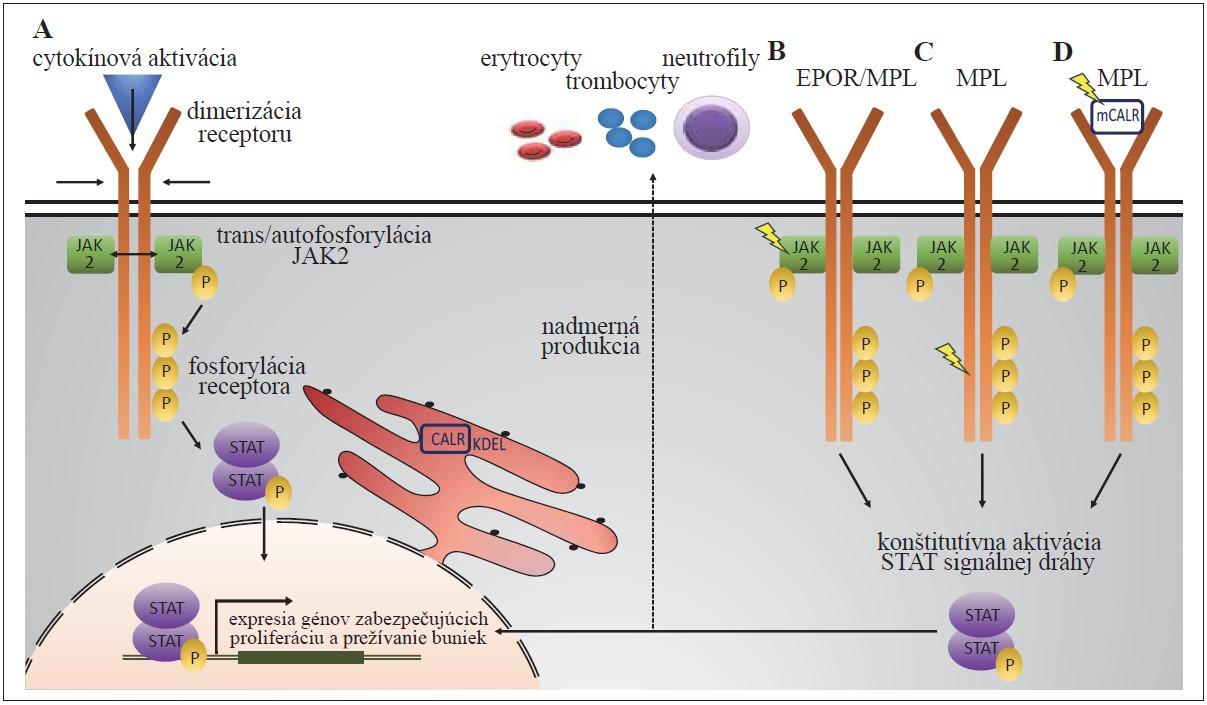 """Všeobecný mechanizmus JAK2 signálnej dráhy za fyziologických podmienok (A): po väzbe cytokínu k receptoru dochádza k jeho dimerizácii, následnej trans- a autofosforylácii JAK2 kinázy, ktorá ďalej fosforyluje tyrozínové zvyšky receptora. Tie poskytujú väzbové miesta pre STAT signálne molekuly, ktoré dimerizujú a vo fosforylovanej forme sa presúvajú do jadra, kde pôsobia ako transkripčné faktory génov zabezpečujúcich proliferáciu a prežívanie buniek. Patofyziologická JAK2 signalizácia v prípade JAK2 mutácií (B) a mutácií MPL receptora (C) vedie ku konformačným zmenám JAK2 alebo MPL receptora, následnej konštitutívnej aktivácii JAK2/STAT signálnej dráhy a nadmernej produkcii rôznych krvných elementov. Naopak, sekretovaný mutovaný CALR (mCALR) sa ako """"falošný"""" cytokín viaže na MPL (D), aktivuje ho, čo u buniek exprimujúcich MPL a súčasne mCALR vedie k trvalej aktivácii JAK2/STAT5 signalizácie."""