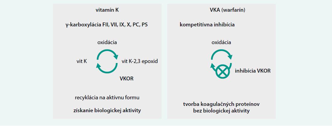 Schéma 2. Mechanizmus antikoagulačného účinku warfarínu