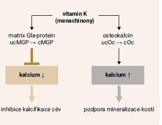 Schéma 2 | Působení menachinonů na kalcifikaci cévní stěny a mineralizaci kostí. Upraveno podle [22]