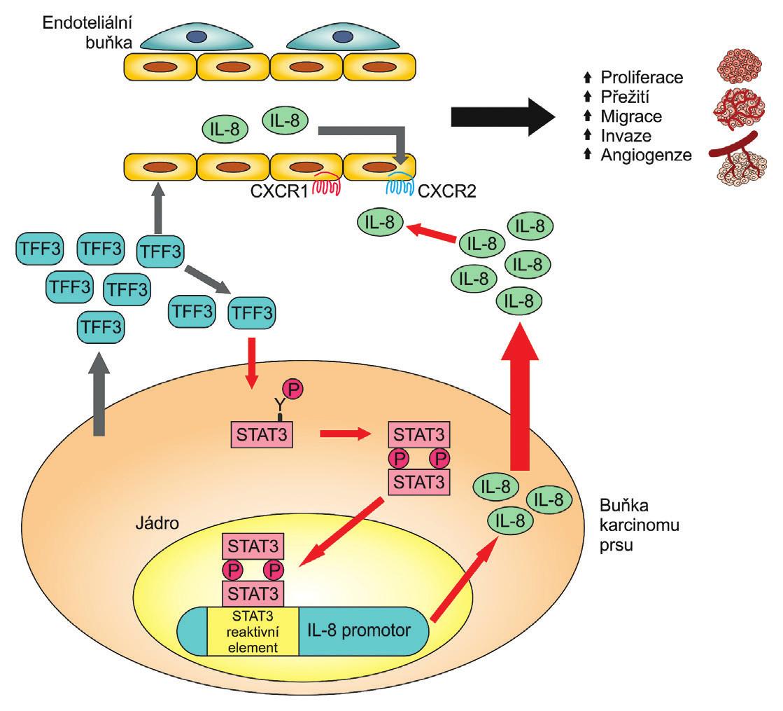 TFF3 je secernován buňkami nádoru prsu a nepřímo podporuje angiogenní chování endoteliálních buněk cestou osy IL-8/CXCR2. STAT 3 je transkripční faktor zodpovědný za zvýšenou expresi IL-8 cestou TFF3; upraveno podle [15]