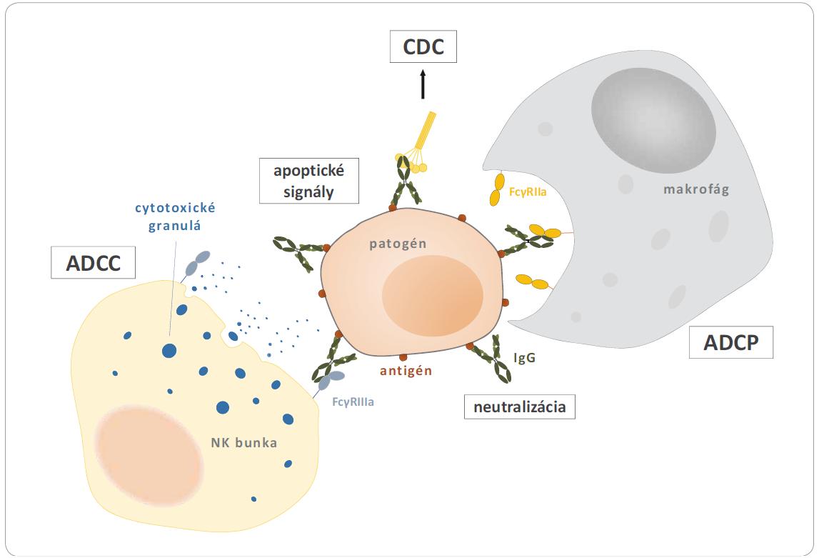 Protilátky a mechanizmy likvidácie patogénu. Protilátky dokážu likvidovať patogén priamym pôsobením a to väzbou na povrchové molekuly zodpovedné za jeho prichytenie k hostiteľskej bunke (neutralizácia) alebo receptory aktivujúce apoptické signály. Protilátky dokážu svojimi Fc oblasťami interagovať s povrchovými receptormi ďalších buniek imunitného systému a spúšťať tak ďalšie imunitné mechanizmy. Na obrázku znázornená NK bunka interaguje prostredníctvom receptoru CD16 (FcγRIIIa) s Fc časťami protilátky vystavenej na povrchu patogénu, aktivuje svoje cytotoxické mechanizmy a uvolňuje do extracelulárneho priestoru cytotoxické granulá s enzýmami perforínom a granzýmom, ktoré nie sú schopné zabiť len samotný patogén, ale tiež nádorové bunky alebo bunky infi kované vírusom (ADCC). Rovnako FcγRIIa receptory makrofágu aktivujú fagocytózu patogénu (ADCP), Fc oblasti taktiež dokážu interagovať zo zložkami komplementu a aktivovať tak lýzu bunky (CDC). Prevzaté a upravené z [6].