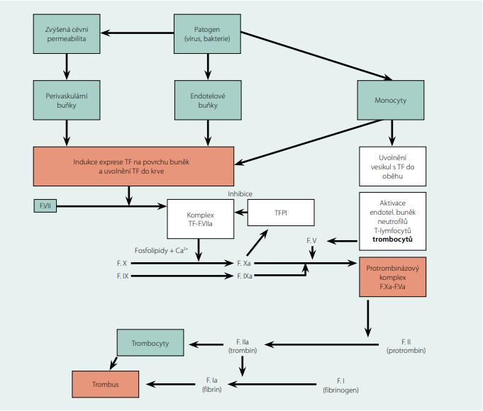 Schéma iniciální fáze koagulace spouštěné akutní infekcí