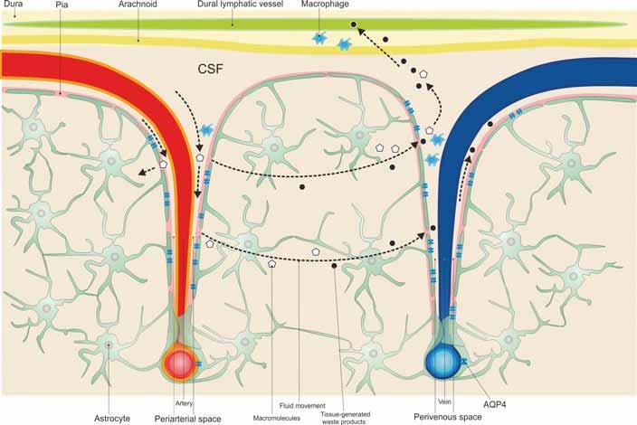 Cerebrospinal fl uid circulates from the subarachnoid space to the periarterial space and then into the tissue, through the astrocyte aquaporin 4 channels surrounding the cerebral vessels, blending with the interstitial fl uid. The interstitial solutes and cellular wastes are transported from the tissue to the perivenous spaces.<br> Obr. 1. Mozkomíšní mok cirkuluje ze subarachnoidálního do periarteriálního prostoru a poté do tkáně přes kanály akvaporinu 4 pro astrocyty, které obklopují mozkové cévy, a při tom se smíchá s intersticiální tekutinou. Intersticiální soluty a buněčné odpadní látky jsou transportovány z tkáně do perivenózních prostor.