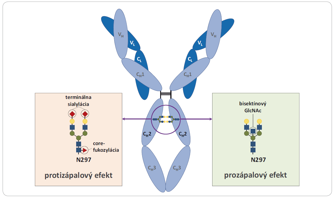 Ilustrácia konzervovanej glykozylácie IgG v pozícii N297 a príklady vplyvov odlišných štruktúr na efektorové funkcie IgG. Obrázok popisuje vplyv zloženia glykozylácie na zápalovú odpoveď. Zatiaľ čo je terminálnej sialylácii a core-fukozylácii je pripisovaný protizápalový, bisektínové glykány majú prozápalový efekt na pôsobenie IgG. Prevzaté a upravené z [21].
