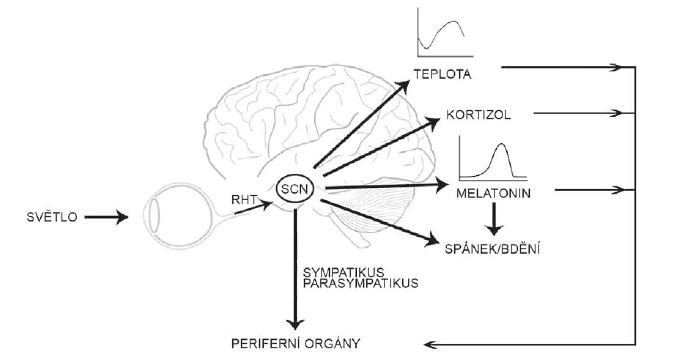 Suprachiasmatické jádro získává informace o světle ze sítnice oka a synchronizuje rytmy v tělesné teplotě, produkci melatoninu a kortizolu, reguluje spánek a přímo i nepřímo fyziologii periferních orgánů. RHT – retinohypotalamický trakt; SCN – suprachiasmatická jádra<br> Fig. 2. The suprachiasmatic nucleus receives the photic information from the retina, synchronizes rhythms in body temperature, melatonin and cortisol secretion, sleep regulation and regulates the physiology of the peripheral organs both directly and indirectly. RHT – retinohypothalamic tract; SCN – suprachiasmatic nucleus
