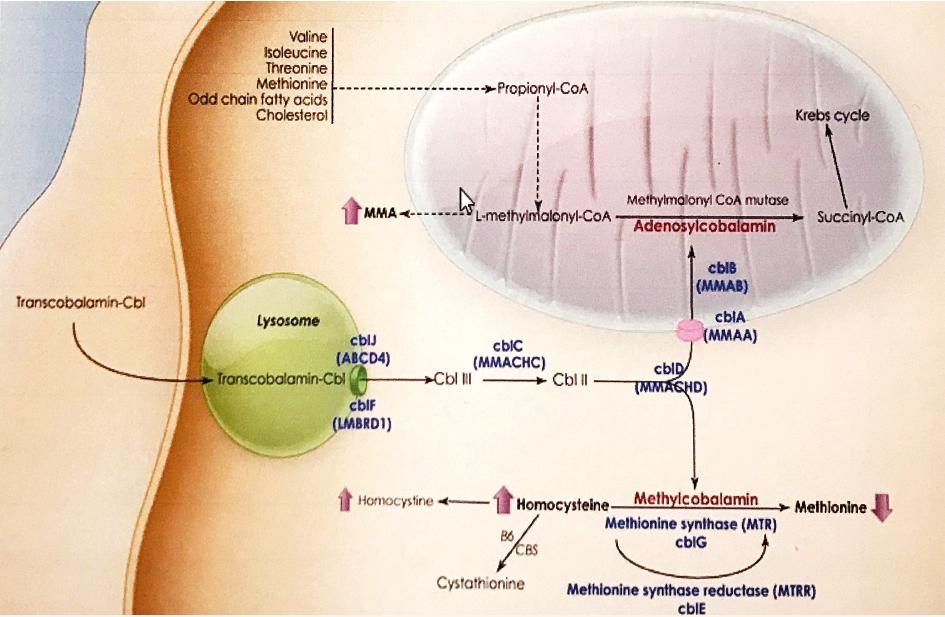 Intracelulárny metabolizmus kobalamínu s výslednými kofaktormi adenozykobalamínom, metylkobalamínom a vyznačením jednotlivých porúch CblA – CblJ [Expert Rev Mol Med 2010].