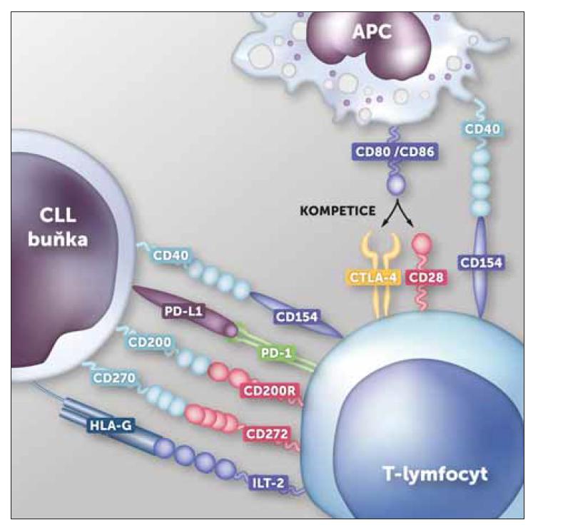 Nejdůležitější interakce mezi T-ly a CLL buňkami u nemocných s neléčenou CLL.