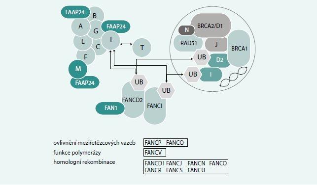 Schéma. Struktura jaderného komplexu a nových mutací u Fanconiho anémie. Při poškození DNA aktivuje ATM a RAD3 kináza proteiny tzv. FA jaderného komplexu (FANC A/B/C/E/F/G/L/M). Aktivovaný komplex působí jako ubikvitinová ligáza a spouští monoubikvitinaci FANCD2 a FANC1. Tento monoubikvitinovaný komplex se přemísťuje k chromatinu a lokalizuje se s ostatními FA proteiny a dalšími proteiny účastnícími se oprav poškozené DNA. Opravy DNA probíhají různým mechanizmem. FANC D2/1 je poté deubikvitinován a uvolněn z chromatinu. Mutace kteréhokoliv z FANC proteinů může vést k defektním DNA opravám. U většiny pacientů se jedná o mutace genů jaderného komplexu, monoubikvitinace FANC1/D2 je narušena u více než 90 % pacientů s FA. Ostatní genetické varianty jsou vzácné. Monoalelické mutace 6 z výše uvedených genů FANCD1, J, M, N, O, S jsou asociovány s familiárním výskytem karcinomu prsu a ovaria, což částečně objasňuje souvislost mezi FA a predispozicí k maligním onemocněním. V dolní části schématu jsou uvedeny nové kauzální geny prokázané u pacientů s FA
