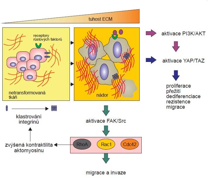 Mechanotransdukce a její vliv na vlastnosti nádorových buněk.