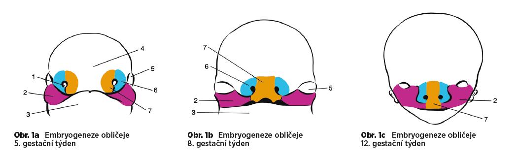 a, b, c 1. nosní plakóda, 2. maxilární výběžek, 3. mandibulární výběžek, 4. frontální výběžek, 5. oko, 6. laterální nazální výběžek, 7. mediální nazální výběžek
