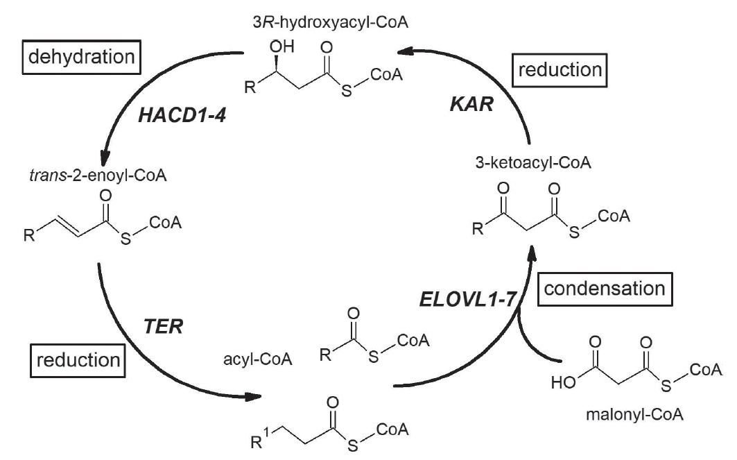 Elongation of fatty acid in mammals. The elongation cycle of fatty acids and respective enzyme is presented. Acyl-CoA