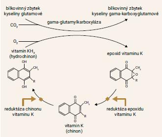 Schéma 1 | C yklus vitaminu K. Prázdné šipky označují místa, na nichž zasahuje warfarin. Warfarin inhibuje reduktázu epoxidu a částečně i reduktázu chinonu vitaminu K