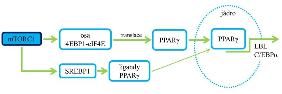 Role mTORC1 v procesu lipogeneze. Aktivace mTORC1 a následné ovlivnění SREBP vede k expresi enzymů, jež jsou zapojené do lipogeneze (6, 7). Pozn.: zelená šipka – aktivace; červená čára bez šipky – blokáda.