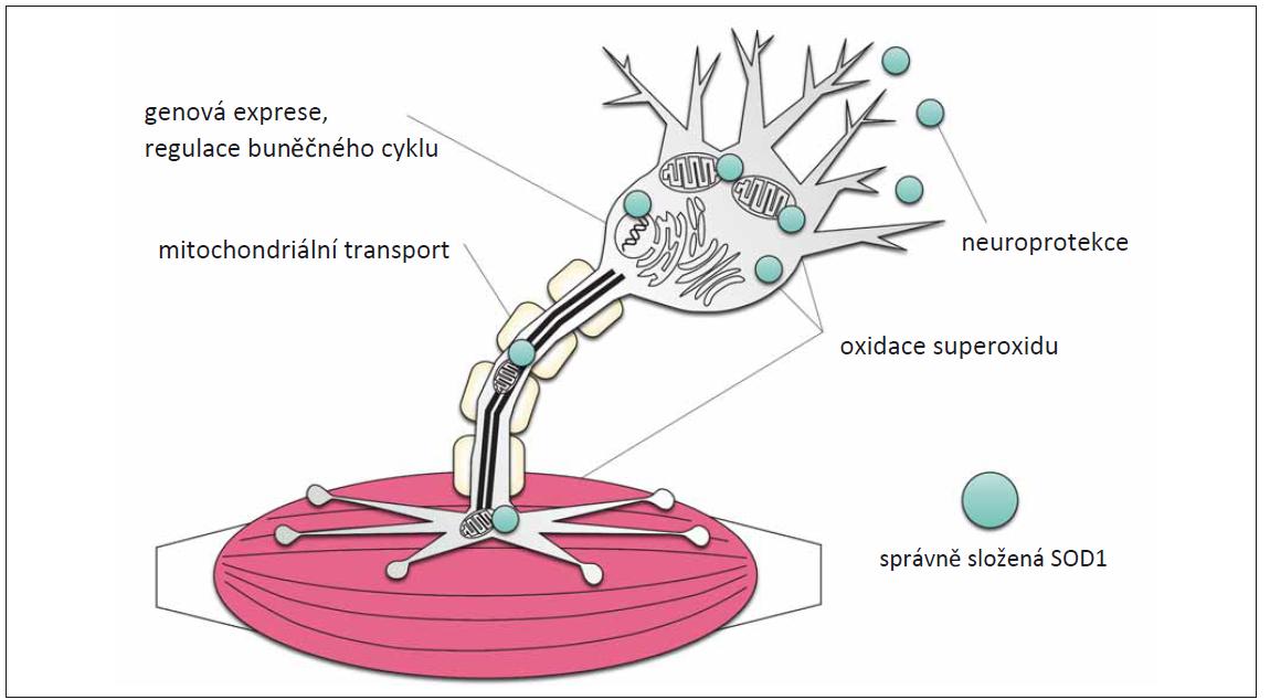 Funkce SOD1 v motorických neuronech [17].<br> SOD1 se nachází v cytoplazmě, na synapsi a v mezimembránovém prostoru mitochondrií. Rolí SOD1 je přeměna volných radikálů, zejména superoxidu O2 −, čímž zmírňuje oxidativní stres. Je rovněž secernována extracelulárně a předpokládá se, že i zde má neuroprotektivní účinky. SOD1 je schopna změnit stav aktivace jiných proteinů, a tím i regulace genové exprese, proliferace a diferenciace dalších proteinů. Studie zkoumající následky ztráty funkce enzymu prokázaly, že se SOD1 rovněž podílí na axonovém transportu mitochondrií k synapsi.<br> SOD1 – superoxiddismutáza 1<br> Fig. 2. Functions of SOD1 in motoneurons [17].<br> SOD1 is located in the cytoplasm, synapse and intermembrane space of mitochondria. The role of SOD1 role is to oxidize free radicals, notably superoxide O2 −, thereby mitigating oxidative stress. It is also secreted and thought to have neuroprotective eff ects extracellularly. SOD1 can change the activation states of other proteins, thereby regulating gene expression, proliferation, and diff erentiation of other proteins. Loss of function studies have shown that SOD1 also participates in axonal traffi cking of mitochondria to the synapse.<br> SOD1 – superoxide dismutase 1