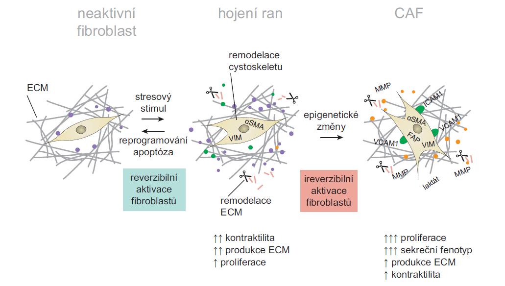 Model aktivace CAF fenotypu.<br> Klidové fibroblasty jsou vřetenovité buňky obklopené fyziologickou ECM. V důsledku poranění tkáně a s ním asociovaných aktivačních stimulů se u fibroblastů zvyšuje exprese α-SMA, VCAM-1, ICAM-1 a vimentinu; aktivované fibroblasty ztrácí vřetenovitý tvar a díky přestavbám cytoskeletu získávají vysokou schopnost kontraktility a migrace. Dochází k remodelaci ECM a aktivaci sekrečního fenotypu, který dále zesiluje aktivaci a proliferaci fibroblastů. Tento stupeň aktivace je reverzibilní. Reverzibilita takové aktivace může být vysvětlena přeprogramováním nebo apoptózou aktivovaných fibroblastů. U CAF dochází k jejich nevratné aktivaci, umocnění sekrečního fenotypu, další remodelaci ECM a produkci imunomodulačních faktorů. Tento proces je spojen s rozvojem nádorových lézí. Změny v epigenetické regulaci mohou omezit reverzibilitu takovýchto aktivovaných stavů. CAF získávají zvýšené proliferační vlastnosti a vytvářejí funkčně různorodou populaci, což zvyšuje dynamickou komplexnost vyvíjejícího se nádorového mikroprostředí. Volně přepracováno dle [7].