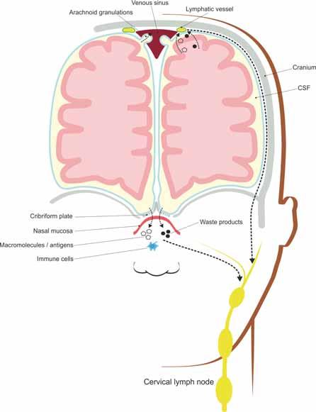 Meningeal lymphatic vessels and nasal lymphatics absorb interstitial solutes and cellular wastes transported by the glymphatic system and drain them to the deep cervical lymph nodes.<br> Obr. 2. Meningeální lymfatické cévy a nosní lymfatické uzliny absorbují intersticiální soluty a buněčné odpadní látky transportované glymfatickým systémem a odvádí je do mízních uzlin hluboko v krku.