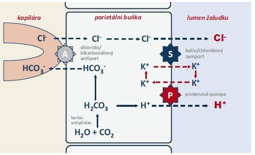 Schéma 1. Mechanizmus sekrece kyseliny solné v parietálních buňkách žaludeční sliznice [1].<br> Scheme 1. Mechanism of secretion of salicylic acid in parietal cells of the gastric mucosa [1].