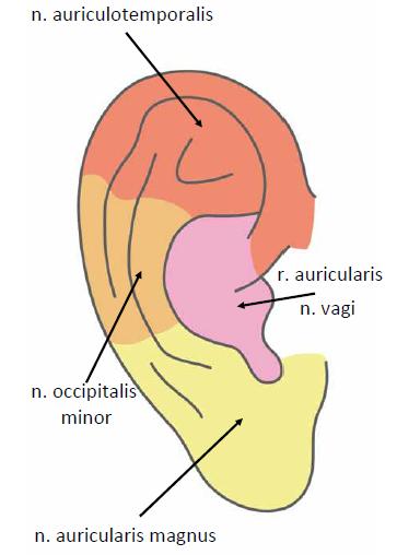 Senzitivní inervace ušního boltce.<br> Fig. 3. External ear-innervation