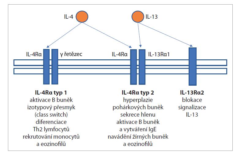 Receptor IL-4 alfa.<br> Fig. 1. IL-4 alpha receptor.