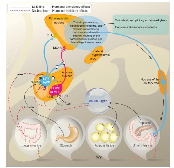 Interakce hormonálních a neurálních cest regulující příjem potravy a tukovou tkáň. Zdroj: Korner J, Liebel RL. To eat or not to eat-how the gut talks to the brain. N Engl J Med 2003; 349(10): 926–928.<br> Fig. 1. Interaction of hormonal and neural pathways regulating food intake and fatty tissue. Source: Korner J, Liebel RL. To eat or not to eat-how the gut talks to the brain. N Engl J Med 2003; 349(10): 926–928.
