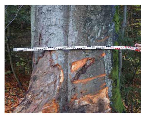 Stopy po kontaktu s vozidlem č. 2 zanechané na stromě.<br> Fig. 6. Marks left on a tree after contact with vehicle no. 2.