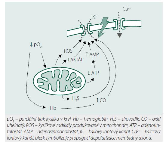 Znázornění mechanismů v karotických tělískách působících aktivaci respirační odpovědi na hypoxii